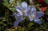 """Epigaea repens  – known as Mayflower or Trailing arbutus For a list of protected and endangered wildflowers in Maine see <a href=""""http://plants.usda.gov/java/threat"""">http://plants.usda.gov/java/threat</a> Wildflowers should be left undisturbed where they are found. To uproot and attempt to transplant them puts the species at risk. Wildflowers are dependent on very specific soil, water and light requirements which a home gardener can rarely reproduce."""