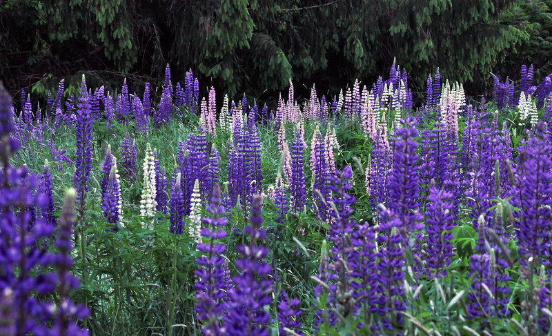 """Lupines, Phippsburg, Maine  Lupines are not native to Maine. They were introduced by the Europeans. They have so successfully naturalized that most people think of them as native. For a list of protected and endangered wildflowers in Maine see <a href=""""http://plants.usda.gov/java/threat"""">http://plants.usda.gov/java/threat</a> Wildflowers should be left undisturbed where they are found. To uproot and attempt to transplant them puts the species at risk. Wildflowers are dependent on very specific soil, water and light requirements which a home gardener can rarely reproduce."""
