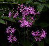 "Flos-Cuculi, also known as Ragged Robin and Herb Robert, is a member of the Pink family. It is a European introduction from the 1800s which has successfully naturalized in Maine, but is not an idigenous wildflower. <br />  nature, Lychnis flos -cuculis  , For a list of protected and endangered wildflowers in Maine see <a href=""http://plants.usda.gov/java/threat"">http://plants.usda.gov/java/threat</a>   Wildflowers should be left undisturbed where they are found. To uproot and attempt to transplant them puts the species at risk. Wildflowers are dependent on very specific soil, water and light requirements which a home gardener can rarely reproduce."