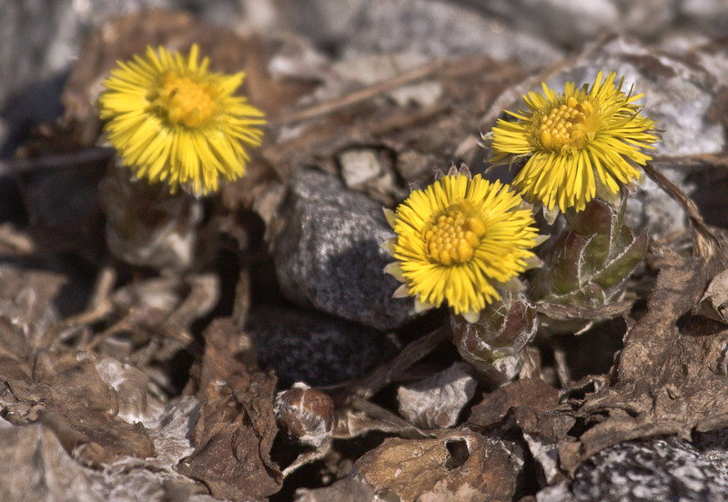 """Colt's Foot, Tussilago farfara wildflower, Maine, native, indigenous, nature,  wildflower, Maine, native, indigenous, nature,  , For a list of protected and endangered wildflowers in Maine see <a href=""""http://plants.usda.gov/java/threat"""">http://plants.usda.gov/java/threat</a>   Wildflowers should be left undisturbed where they are found. To uproot and attempt to transplant them puts the species at risk. Wildflowers are dependent on very specific soil, water and light requirements which a home gardener can rarely reproduce."""