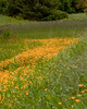 """Buttercups<br /> wildflower, Maine, native, indigenous, nature,  wildflower, Maine, native, indigenous, nature,  , For a list of protected and endangered wildflowers in Maine see <a href=""""http://plants.usda.gov/java/threat"""">http://plants.usda.gov/java/threat</a>   Wildflowers should be left undisturbed where they are found. To uproot and attempt to transplant them puts the species at risk. Wildflowers are dependent on very specific soil, water and light requirements which a home gardener can rarely reproduce."""