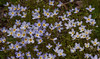 Bluets, sometimes called Quaker Ladies, Houstonia caerulea<br /> Madder family (Rubiaceae) are usually found in spring in Maine, though they do bloom here and there during summer months.  Other common names of Houstonia caerulea are Azure Bluets and Innocence. They are native Maine wildflower with wide distribution in the United States.