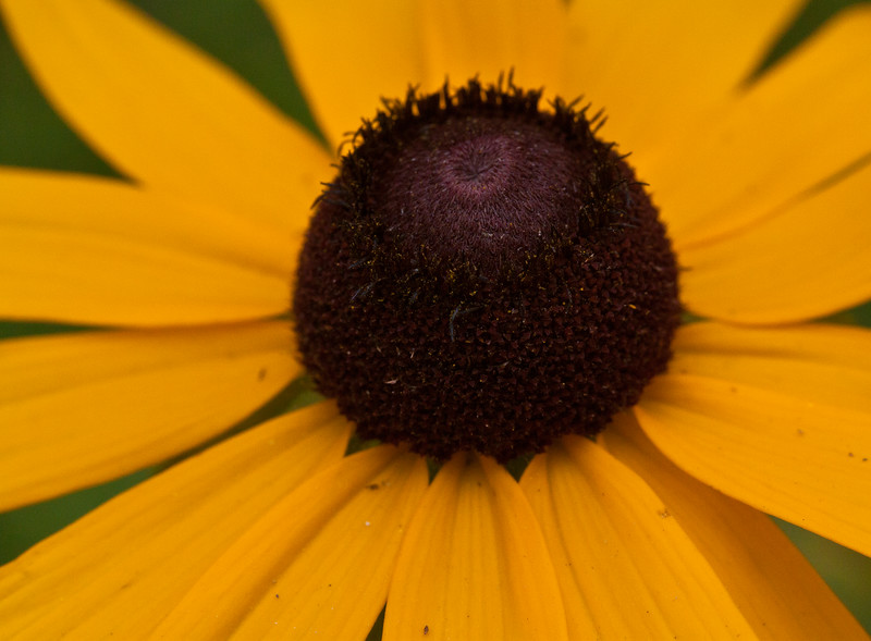 """Black-eyed Susan, Maine Wildflower wildflower, Maine, native, indigenous, nature,  wildflower, Maine, native, indigenous, nature,  , For a list of protected and endangered wildflowers in Maine see <a href=""""http://plants.usda.gov/java/threat"""">http://plants.usda.gov/java/threat</a>   Wildflowers should be left undisturbed where they are found. To uproot and attempt to transplant them puts the species at risk. Wildflowers are dependent on very specific soil, water and light requirements which a home gardener can rarely reproduce."""