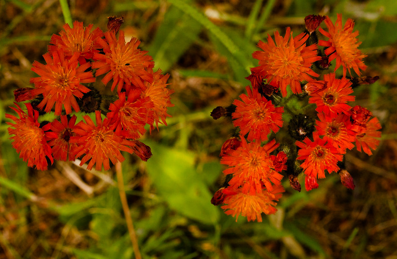 """Indian Paintbrush<br /> Pilosella aurantiaca, Devil's Paintbrush wildflower, Maine, native, indigenous, nature,  wildflower, Maine, native, indigenous, nature,  , For a list of protected and endangered wildflowers in Maine see <a href=""""http://plants.usda.gov/java/threat"""">http://plants.usda.gov/java/threat</a>   Wildflowers should be left undisturbed where they are found. To uproot and attempt to transplant them puts the species at risk. Wildflowers are dependent on very specific soil, water and light requirements which a home gardener can rarely reproduce."""
