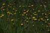 """Hawkweed wildflower, Maine, native, indigenous, nature,  wildflower, Maine, native, indigenous, nature,  , For a list of protected and endangered wildflowers in Maine see <a href=""""http://plants.usda.gov/java/threat"""">http://plants.usda.gov/java/threat</a>   Wildflowers should be left undisturbed where they are found. To uproot and attempt to transplant them puts the species at risk. Wildflowers are dependent on very specific soil, water and light requirements which a home gardener can rarely reproduce."""