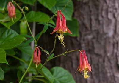 Eastern Red Columbine,  Wild Columbine Aquilegia canadensis  Buttercup family (Ranunculaceae) Phippsburg, Maine wildflower