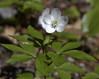 """Wood Anemones wildflower, Maine, native, indigenous, nature,  wildflower, Maine, native, indigenous, nature,  , For a list of protected and endangered wildflowers in Maine see <a href=""""http://plants.usda.gov/java/threat"""">http://plants.usda.gov/java/threat</a>   Wildflowers should be left undisturbed where they are found. To uproot and attempt to transplant them puts the species at risk. Wildflowers are dependent on very specific soil, water and light requirements which a home gardener can rarely reproduce."""