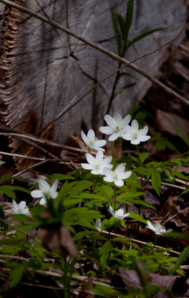 """Anemone piperi - Piper's Anemone, is a white, native Maine wildflower that blooms in May in Phippsburg, Maine. It favors dappled shade on the margins of woodlands.  , For a list of protected and endangered wildflowers in Maine see <a href=""""http://plants.usda.gov/java/threat"""">http://plants.usda.gov/java/threat</a>   Wildflowers should be left undisturbed where they are found. To uproot and attempt to transplant them puts the species at risk. Wildflowers are dependent on very specific soil, water and light requirements which a home gardener can rarely reproduce."""