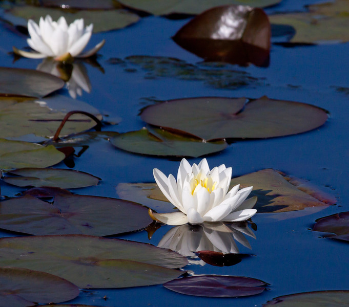 """White Waterlilies are indigenous to Maine waters. They grow in still water. The leaves, called Lily Pads provide habitat for fish underneath them and places for frogs and dragonflies. A Blue Fronted Dancer is seen in these photographs in Phippsburg, Maine  , For a list of protected and endangered wildflowers in Maine see <a href=""""http://plants.usda.gov/java/threat"""">http://plants.usda.gov/java/threat</a>   Wildflowers should be left undisturbed where they are found. To uproot and attempt to transplant them puts the species at risk. Wildflowers are dependent on very specific soil, water and light requirements which a home gardener can rarely reproduce."""