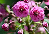 "Kalmia, Sheep Kill, Lamb Kill<br /> wildflower, Maine, native, indigenous, nature,  wildflower, Maine, native, indigenous, nature,  , For a list of protected and endangered wildflowers in Maine see <a href=""http://plants.usda.gov/java/threat"">http://plants.usda.gov/java/threat</a>   Wildflowers should be left undisturbed where they are found. To uproot and attempt to transplant them puts the species at risk. Wildflowers are dependent on very specific soil, water and light requirements which a home gardener can rarely reproduce."