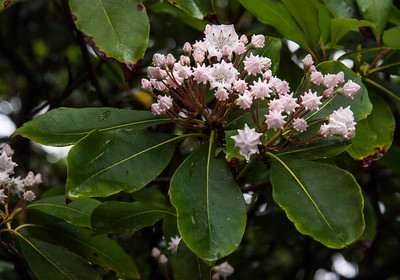 Kalmia latifolia, commonly called Mountain-Laurel, and Calico- Bush,  is a species of flowering plant in the blueberry family, Ericaceae. It is native to the eastern United States. Mountain Laurel is also known as Ivybush, Spoonwood (because native Americans used to make their spoons out of it), Sheep Laurel, Lambkill and Clamoun. All parts of the plant are poisonous to humans,  monkeys, and cloven hooved animals such as deer, cows and sheep and goats. In Maine, Mountain Laurel is, but not sufficiently rare to be considered Threatened or Endangered.
