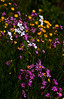 """Dame's Rocket, Hesperis matronalis, Flos-cuculis or Ragged Robin and Bulbous Buttercup are all  wildflowers of Maine, but none of the are native nor indigenous to Maine. All three are introduced species which have naturalized.  , For a list of protected and endangered wildflowers in Maine see <a href=""""http://plants.usda.gov/java/threat"""">http://plants.usda.gov/java/threat</a>   Wildflowers should be left undisturbed where they are found. To uproot and attempt to transplant them puts the species at risk. Wildflowers are dependent on very specific soil, water and light requirements which a home gardener can rarely reproduce."""