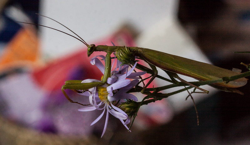Praying Mantis, the eggcorn is Preying Mantis