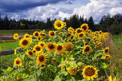 Sunflowers in Pembroke Maine