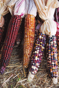 Colorful Fall Corn