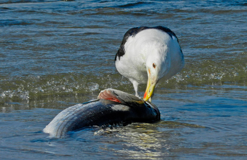 Greater Black-Backed Gull, A Beach, Kennebunk ME