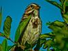 Song Sparrow, Digiscoped ZEISS DiaScope 85FL, A Beach, Kennebunk ME