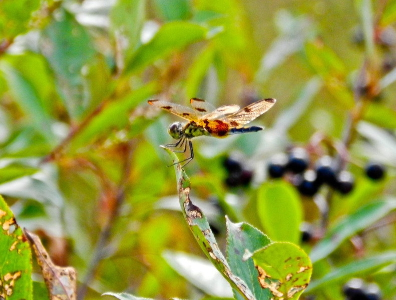 Calico Pennant, Kennebunk Plains, Kennebunk ME