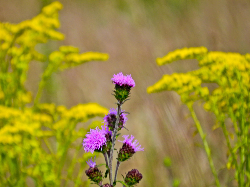 Northern Blazing Star, Kennbunk Plains, Kennebunk ME