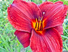 Day Lily, Old Fort Point, Kennebunkport, ME