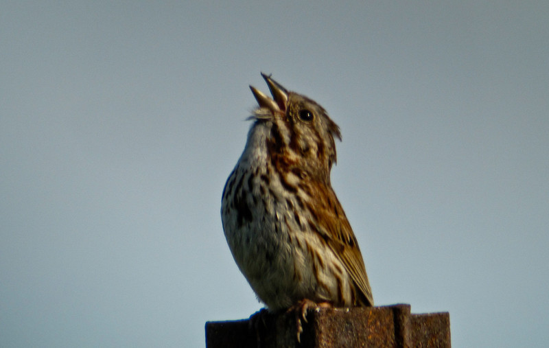 Song Sparrow, Digiscoped ZEISS DiaScope 85FL, A Beach, Kennebunk ME