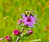 Bee on Northern Blazing Star, Kennbunk Plains, Kennebunk ME