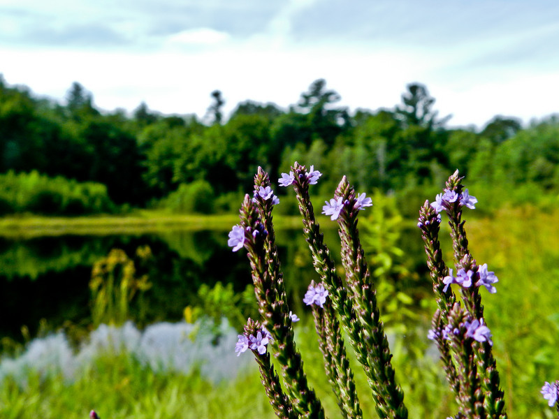 Blue Vervain, Plains Pond, Kennebunk Plains, Kennebunk ME
