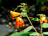 Jewel Weed, Eastern Trail, Kennebunk to Biddeford ME