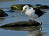 Greater Black-Backed Gull, A Beach, Kennebunk ME
