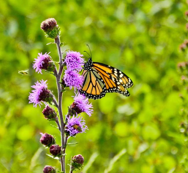 Monarch on Northern Blazing Star, Kennbunk Plains, Kennebunk ME