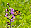 Monarch on Northern Blazing Star, Kennbunk Plains, Kennebunk ME