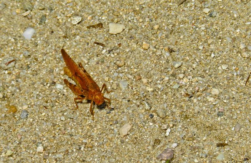 Grasshopper, Kennebunk Plains, Kennebunk ME