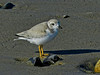 Piping Plover, A Beach, Kennebunk ME