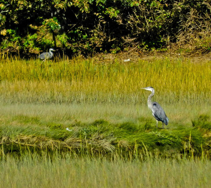 Great Blue Heron, Back Creek, Kennebunk ME