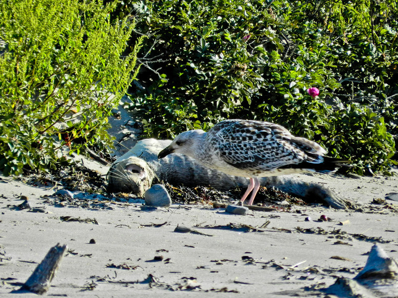 Herring Gull with dead seal, Kennebunk ME