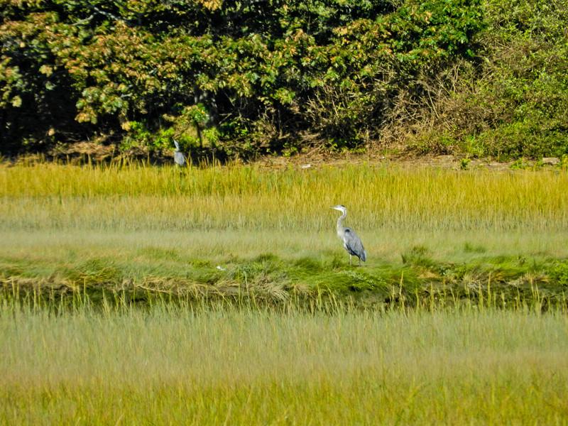 Great Blue Heron, Back Creek, Kennebunk ME