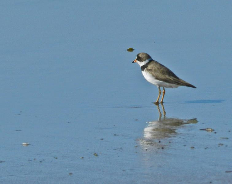 Semi-palmated Plover, A Beach, Kennebunk ME
