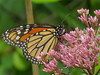 Monarch on Ironweed, Factory to Pasture Pond, Kennebunk ME