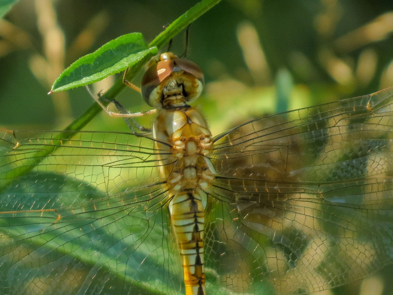 newly emerged Wandering Glider, Quest Pond, Kennebunk ME