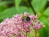 Bee on Ironweed, Factory to Pasture Pond, Kennebunk ME