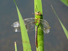 Emerging Green Darner (don't think it made it), Quest Pond, Kennebunk ME