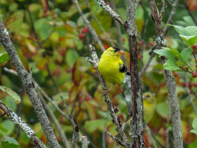 American Goldfinch, Quest Pond, Kennebunk ME