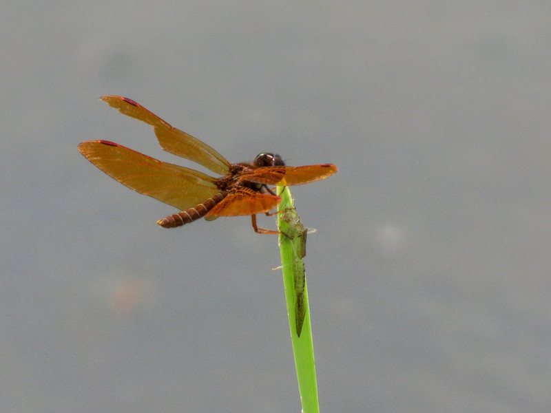 Eastern Amberwing, Quest Pond, Kennebunk ME