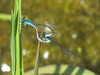 Azure Bluet, Quest Pond, Kennebunk ME