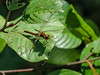 White-faced Meadowhawk, Quest Pond, Kennebunk ME