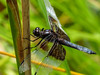 Widow Skimmer, Quest Pond, Kennebunk ME