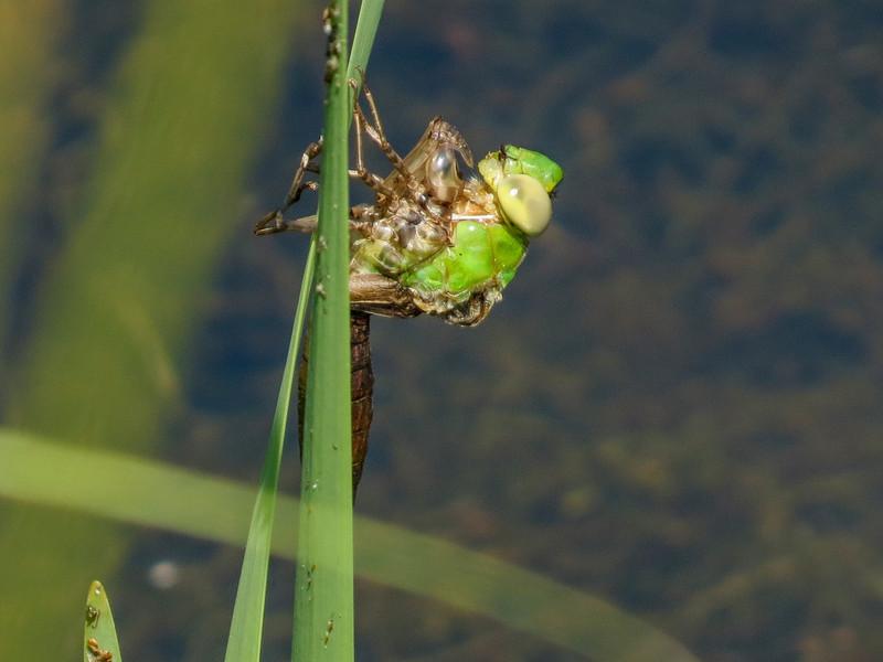 Emerging Green Darner (?), Quest Pond, Kennebunk ME