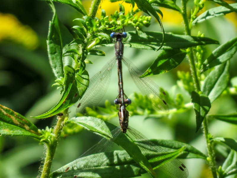 Amber-winged Spreadwing, Quest Pond, Kennebunk ME