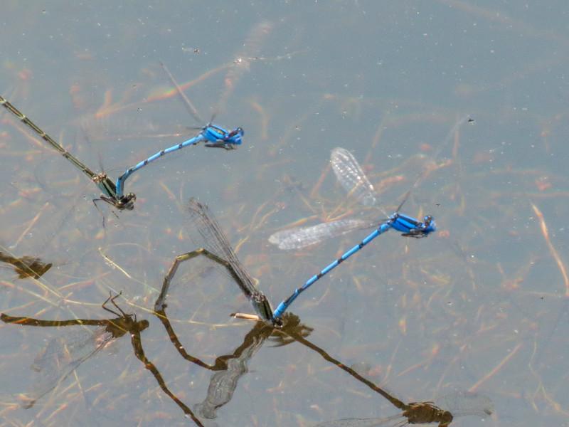 Familar Bluet, Quest Pond, Kennebunk ME