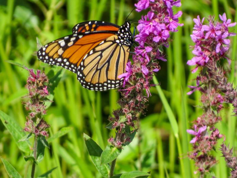 Monarch, Goodall Drive, Kennebunk ME